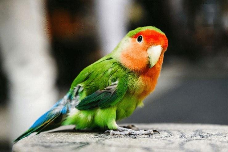 Faktor Yang Mempengaruhi Memunculkan Suara Ngekek Pada Lovebird
