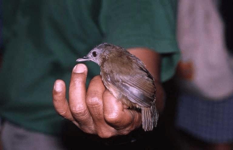 Karakter Burung Pelanduk Semak