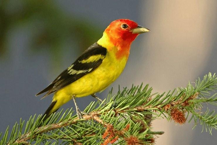 Karakter Dasar Burung Kenari