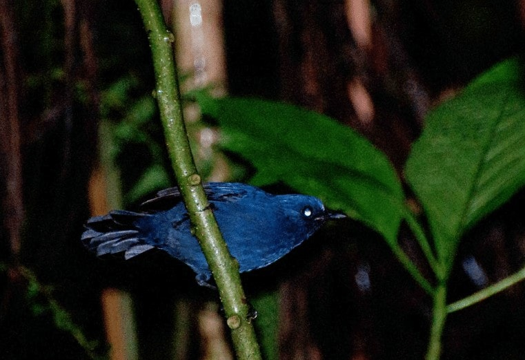 Karakteristik Burung Berkecet Biru Tua
