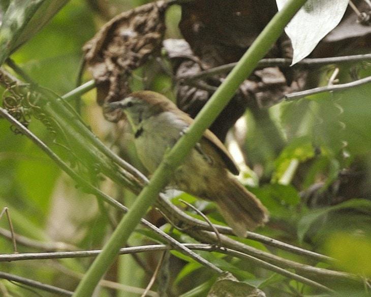 Karakteristik Burung Tepus Pipi Perak