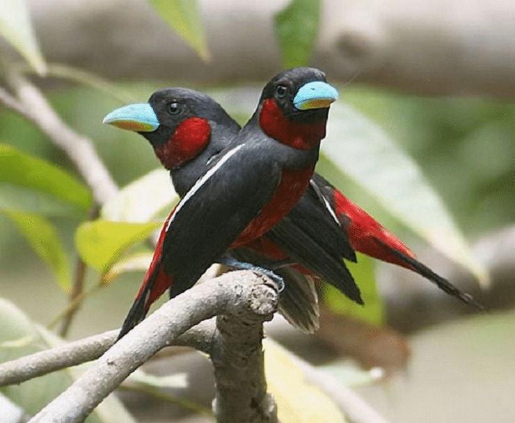 Kebiasaan Hidup Burung Sempur Hujan Sungai