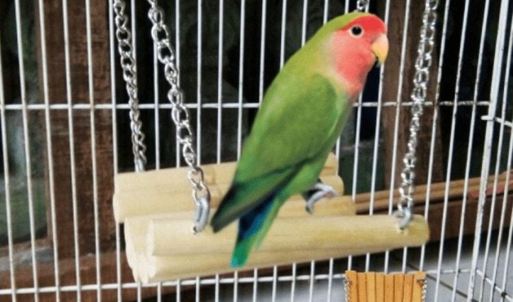 Manfaat Ayunan Bagi Burung Lovebird