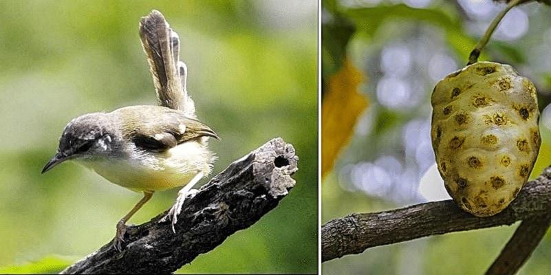 Manfaat Mengkudu Untuk Burung Ciblek