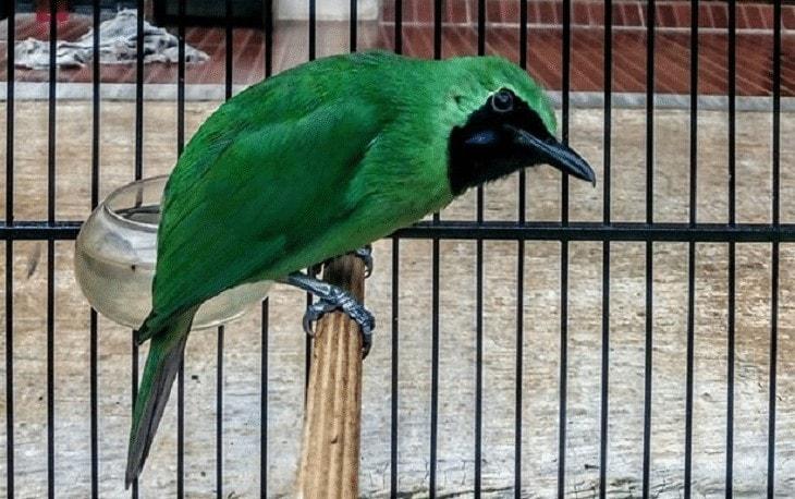Memilih Burung Cucak Ijo yang Bersuara Indah