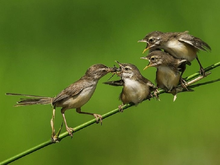 Mengatasi Burung Ciblek Terlanjur Over Birahi