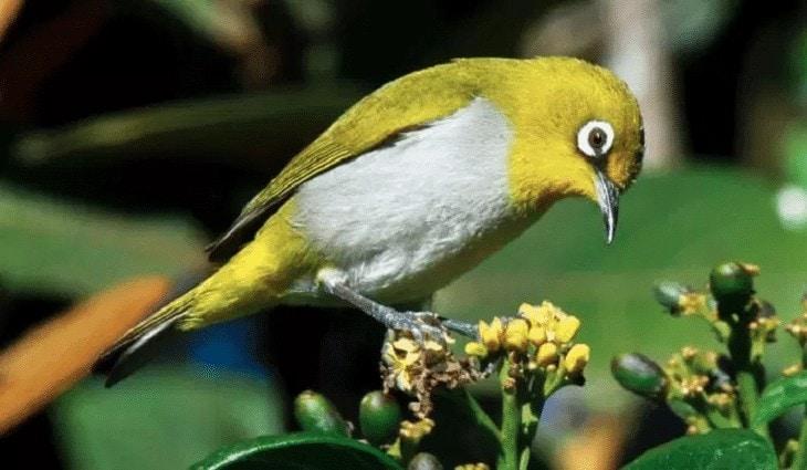Pakan Alami Burung Pleci