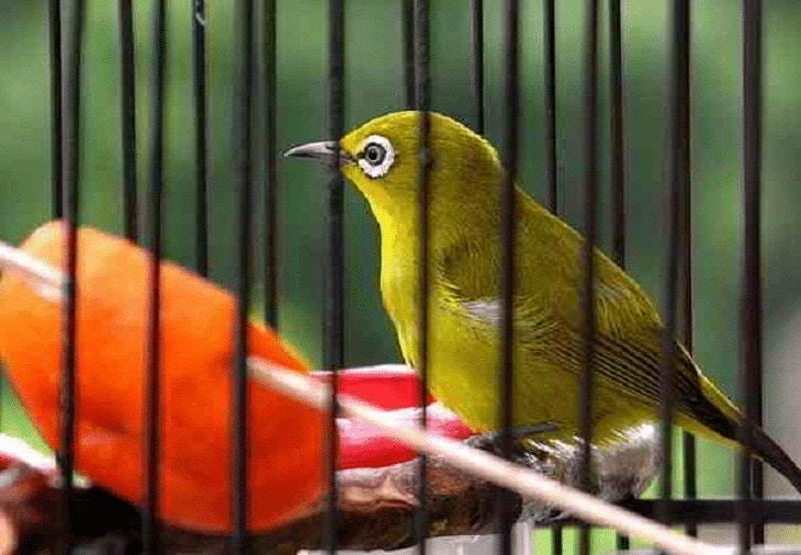 Pakan Burung Pleci