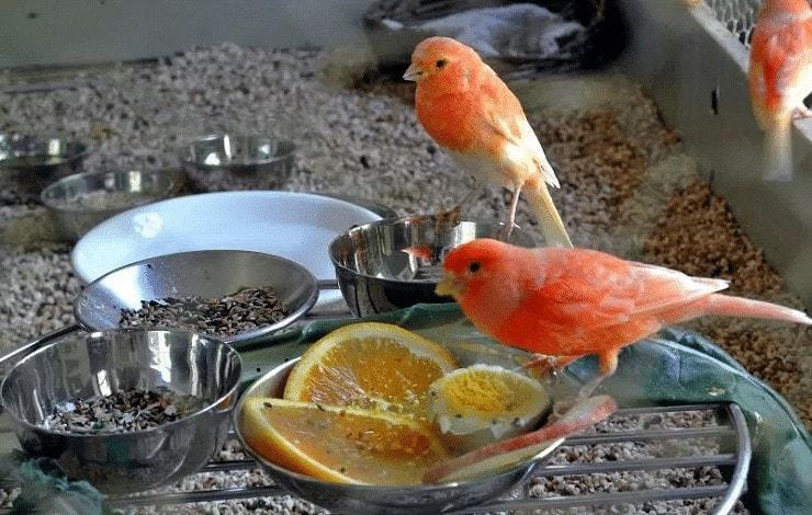 Pakan Tambahan Burung Kenari