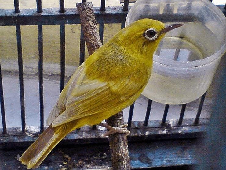 Penyebab Bulu Kusam Pada Burung Pleci