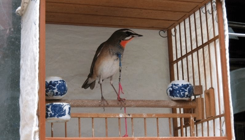 Burung Berkecet Leher Merah
