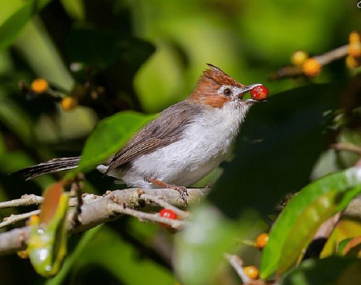 Perawatan Burung Yuhina Kalimantan