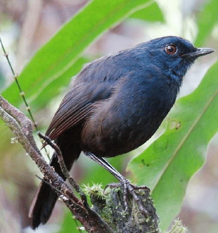 Perawatan Harian Burung Cingcoang Biru