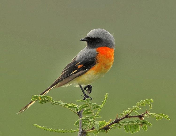 Perilaku Burung Sepah Kecil