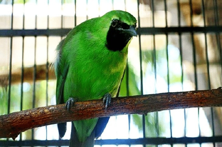 Ramuan Untuk Burung Cucak Ijo