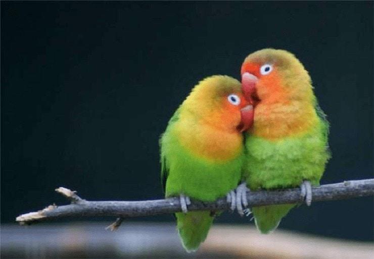 Terapi Mandi Kering Lovebird
