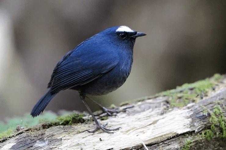 Anakan Burung Cingcoang Biru
