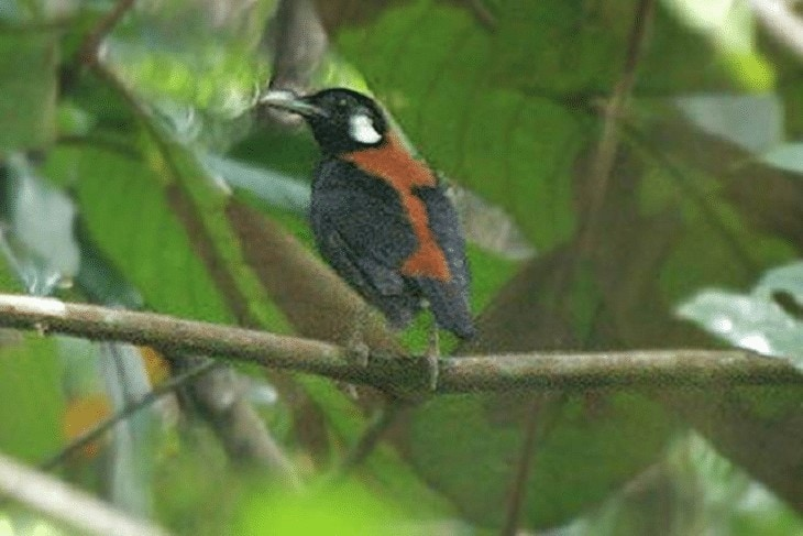 Burung Anis Menden