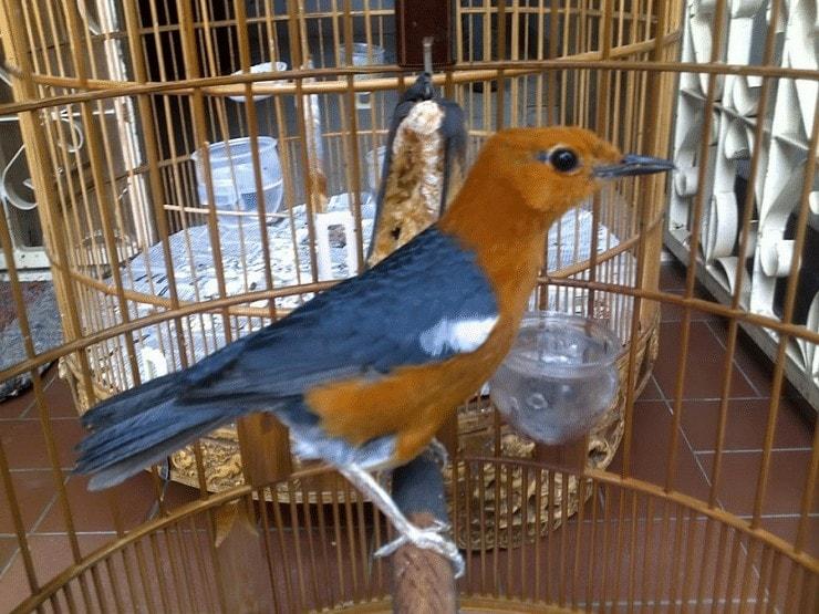 Burung Anis Merah Over Birahi