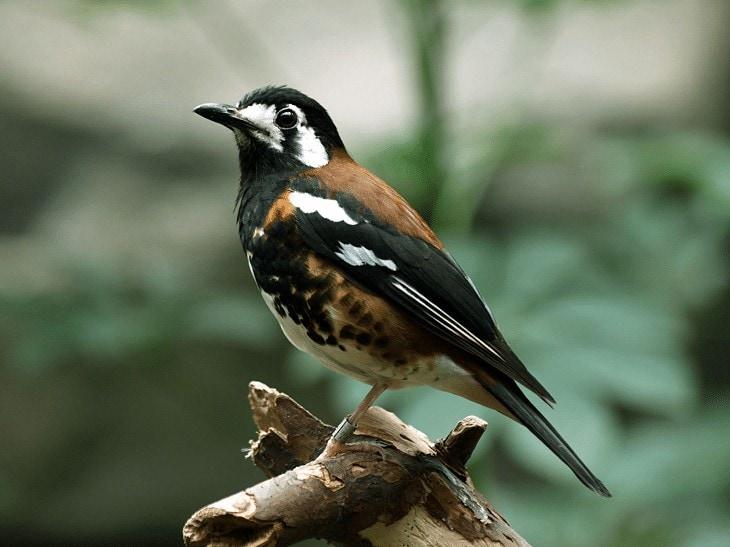 Burung Anis Nusa Tenggara