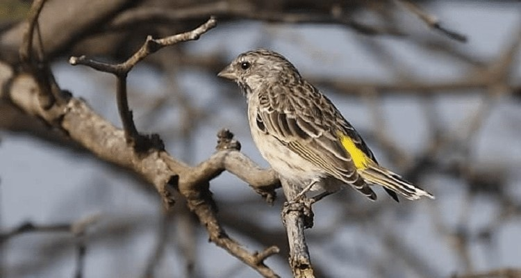 Mengenal Ciri Ciri Burung Blackthroat Jantan Paling Akurat