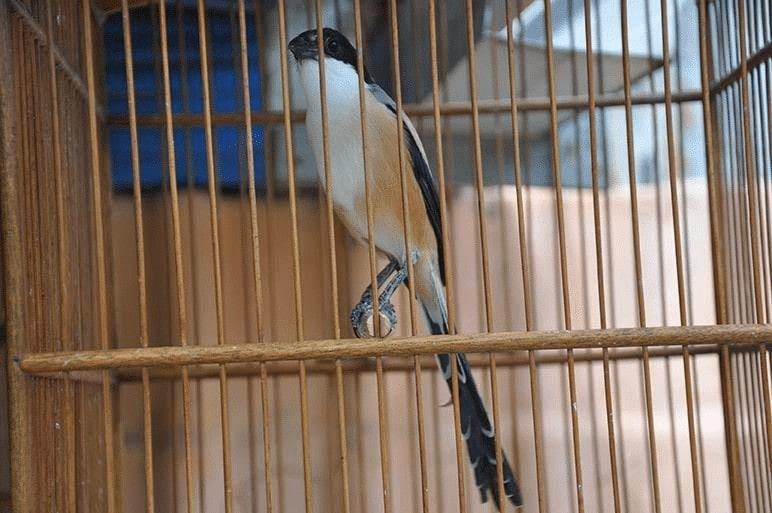 Burung Cendet Ngetem Di Area Lomba
