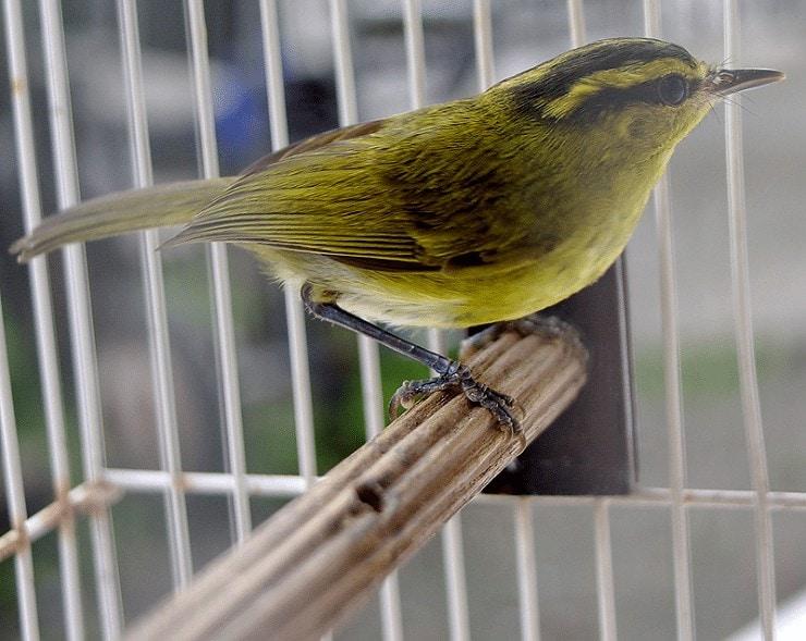 Burung Cikrak Sulawesi