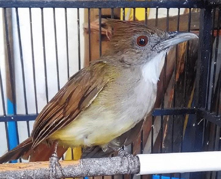 Burung Cucak Jenggot Kurang Maksimal