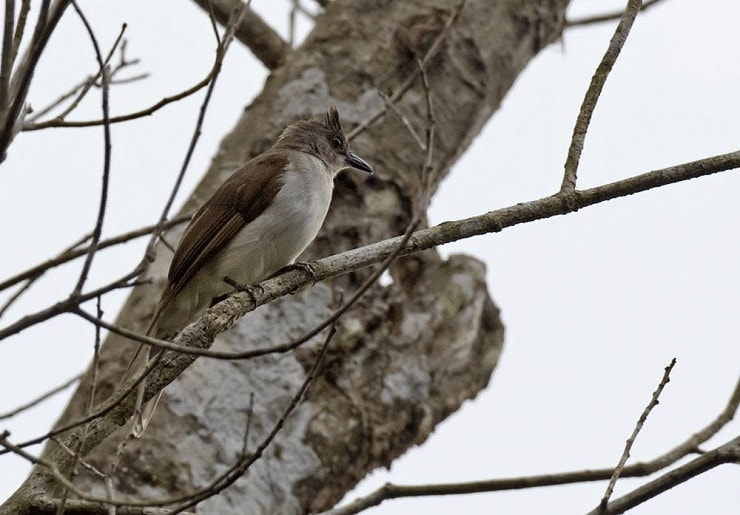 Burung Cucak Rumbai Tungging