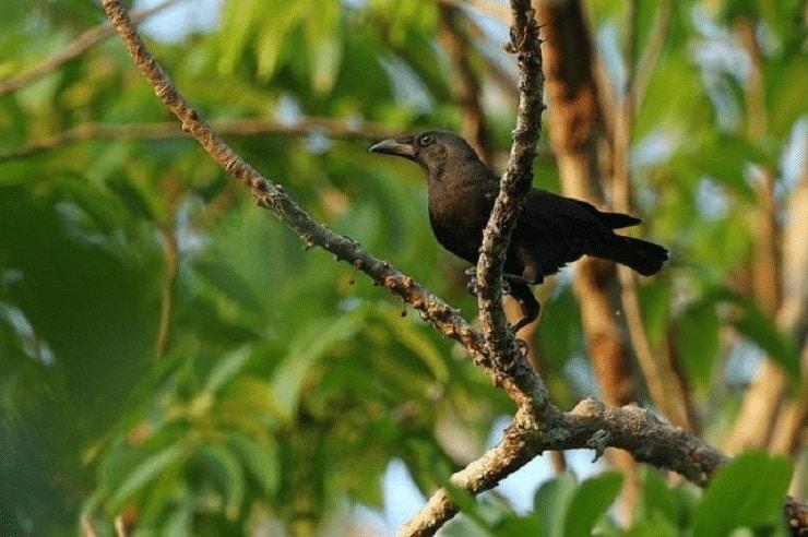 Burung Gagak Flores