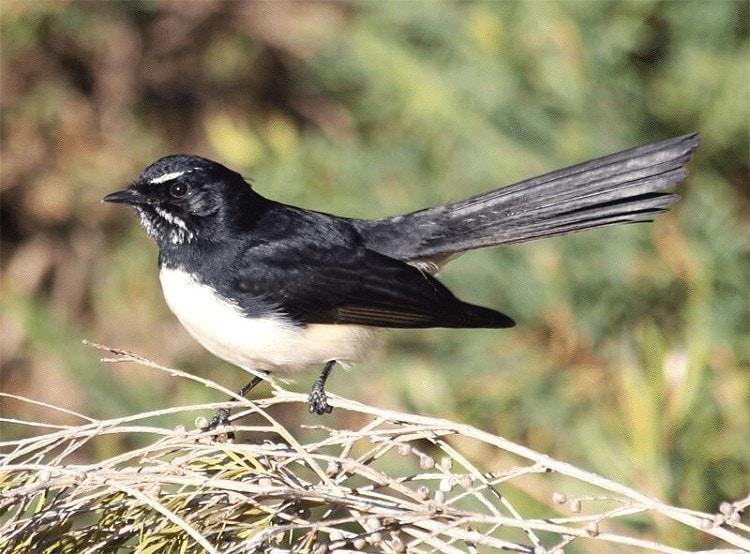 Burung Kipasan Kebun