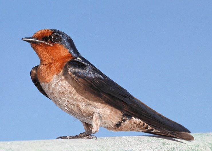Burung Layang-Layang Batu