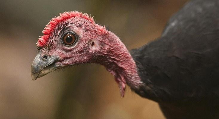 Burung Maleo Waigeo