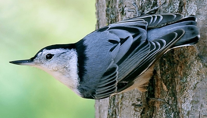 Burung Munguk Loreng