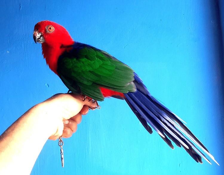 Burung Nuri Raja Ambon