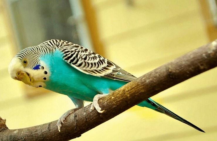 Burung Parkit Berkualitas