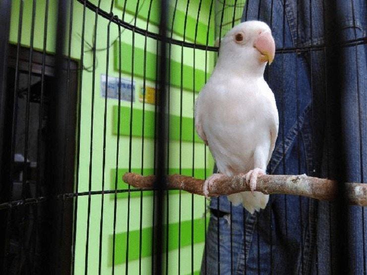 Cara Mencetak Lovebird Albino Mata Merah