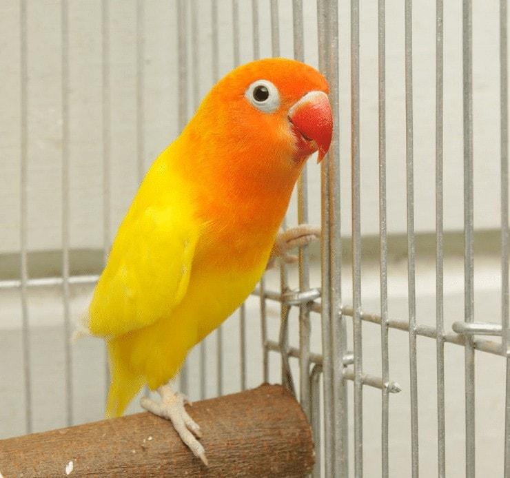 Cara Mencetak Lovebird Biola Kuning
