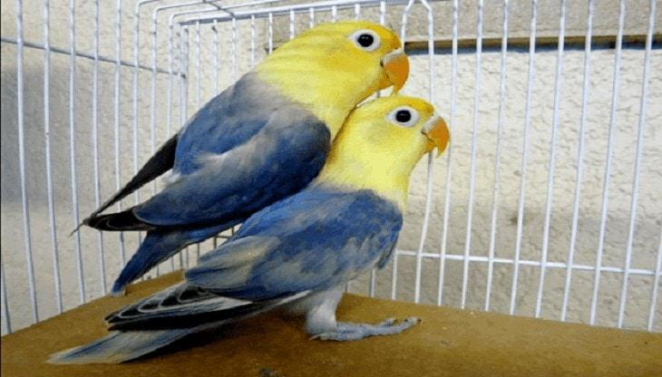 Cara Mencetak Lovebird Biola Parblue