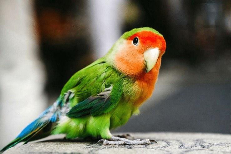 Cara Menstabilkan Lovebird Jantan