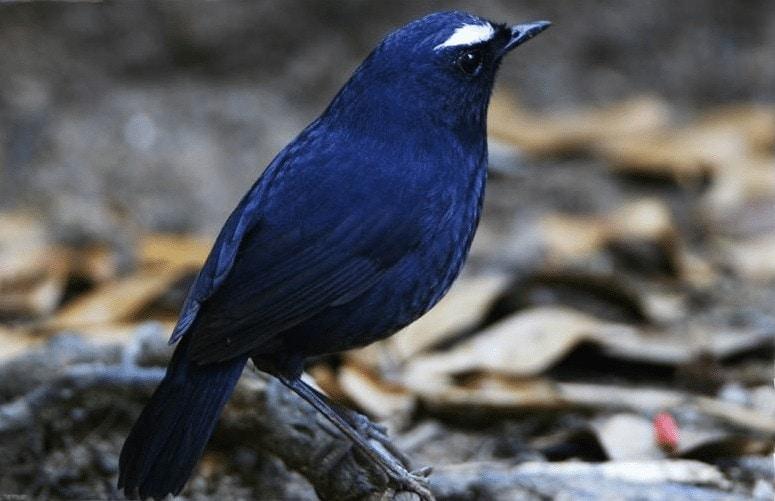 Cara Merawat Anakan Burung Cingcoang Biru