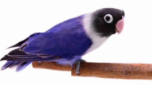 Cara Merawat Jenis Lovebird Violet Dan Ciri Karakteristiknya