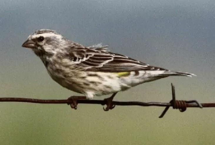 Ciri-Ciri Burung Blackthroat Jantan
