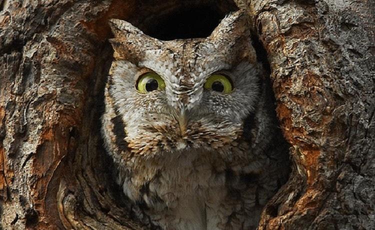 Ciri Khas Burung Celepuk Jawa