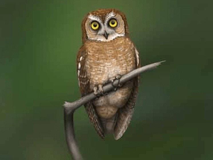 Ciri Khas Burung Celepuk Siau