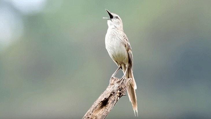 Ciri Khas Burung Cica Koreng Jawa