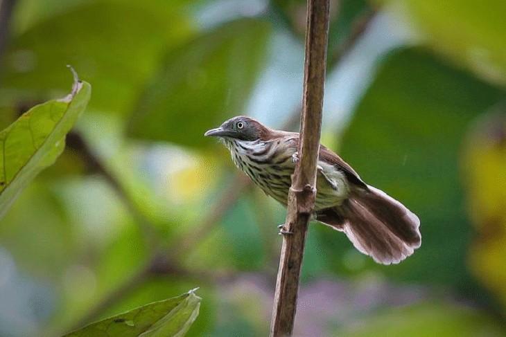 Ciri Khas Burung Ciung Air Coreng