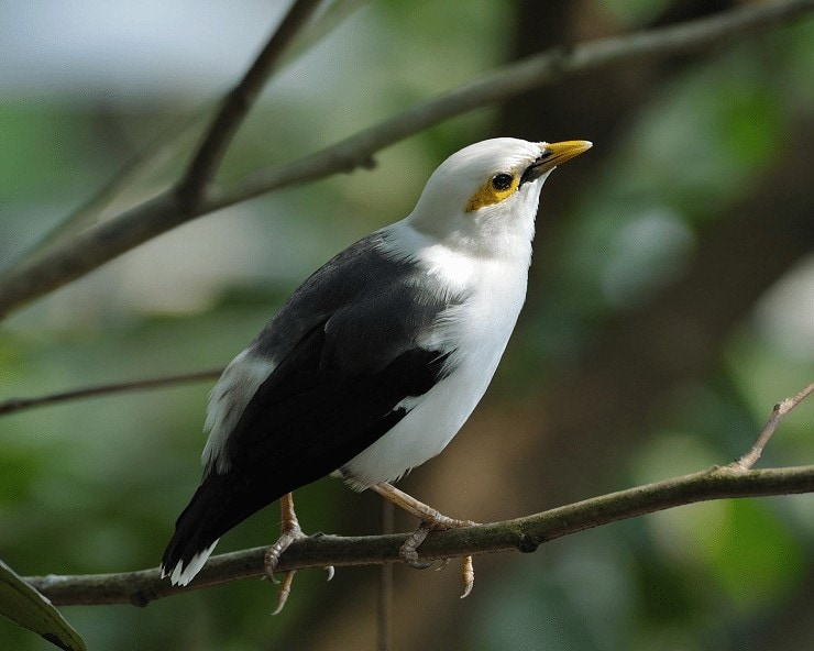 Ciri Khas Burung Jalak Tunggir Abu