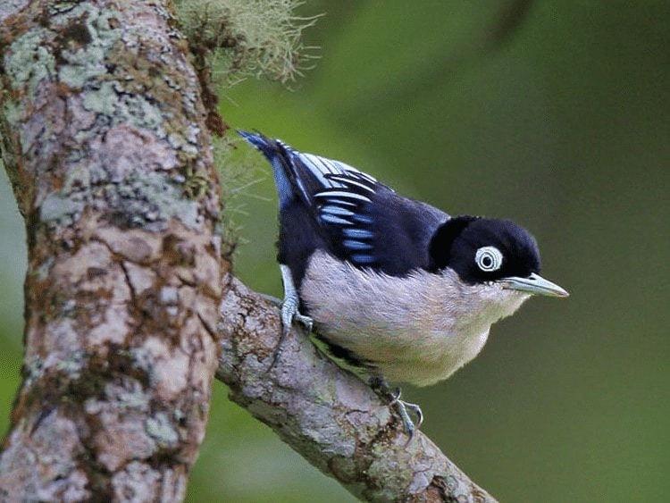 Ciri Khas Burung Munguk Loreng