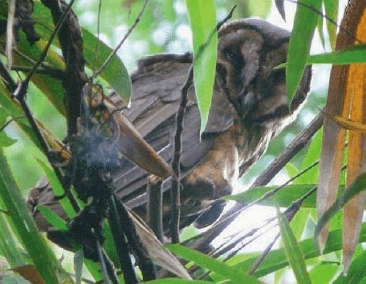 Ciri Khas Burung Serak Taliabu